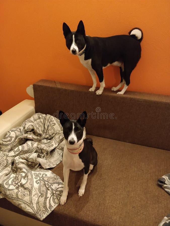 Dois cães do basenji foto de stock
