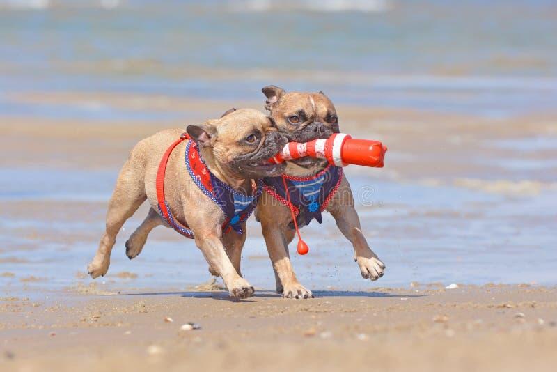 Dois cães do buldogue francês no jogo das férias buscam com um brinquedo marítimo do cão na praia fotografia de stock royalty free