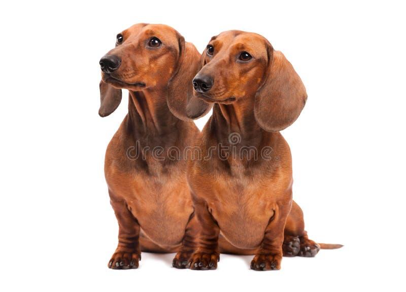 Dois cães do Dachshund fotos de stock royalty free