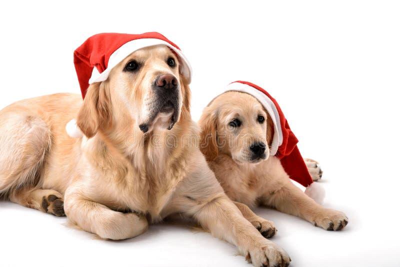 Dois cães do golden retriever com chapéus de Santa Claus imagem de stock