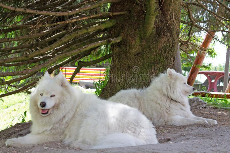 Dois cães do Samoyed que encontram-se na sombra fotos de stock royalty free