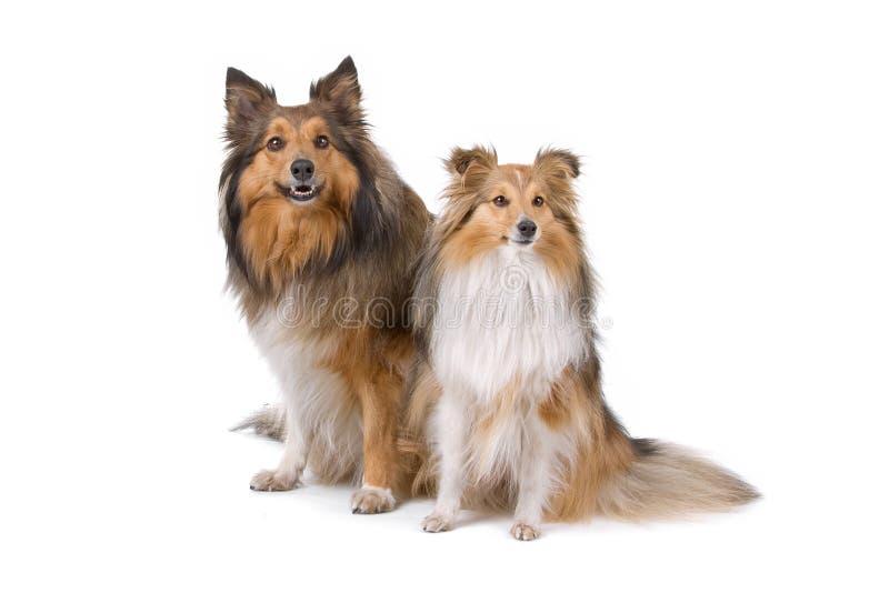 Dois cães do sheltie foto de stock