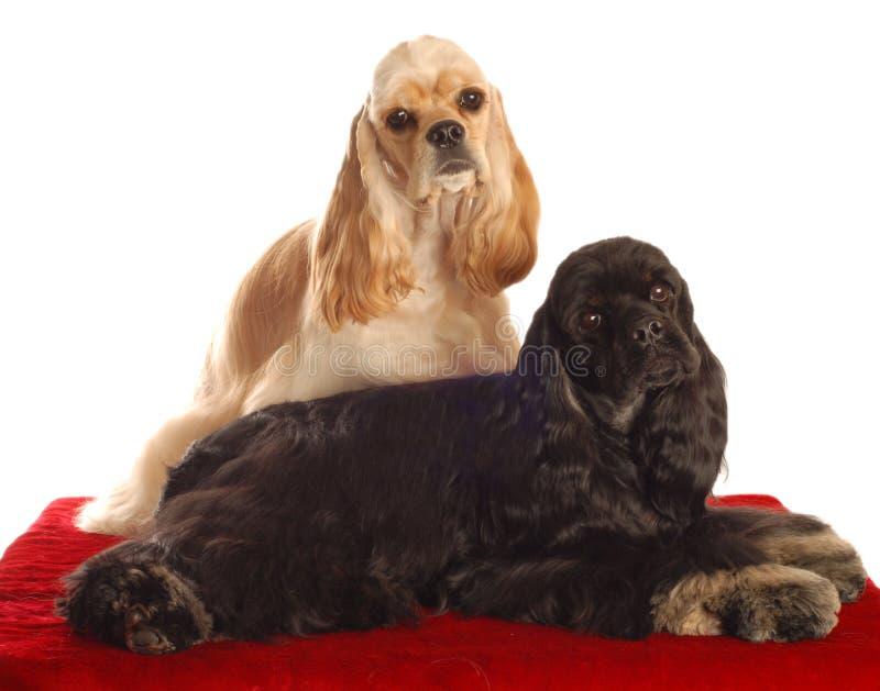 Dois cães do spaniel de cocker foto de stock