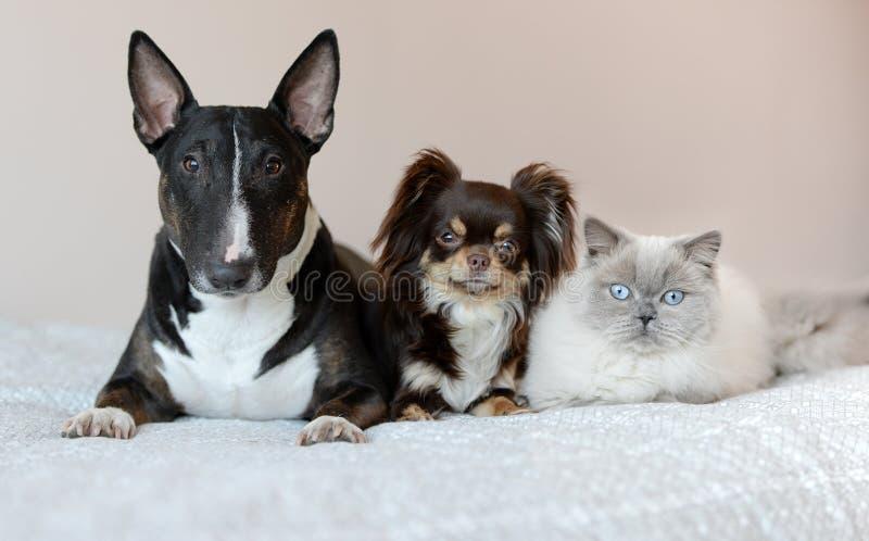 Dois cães e um gato que levanta junto em uma cama imagens de stock