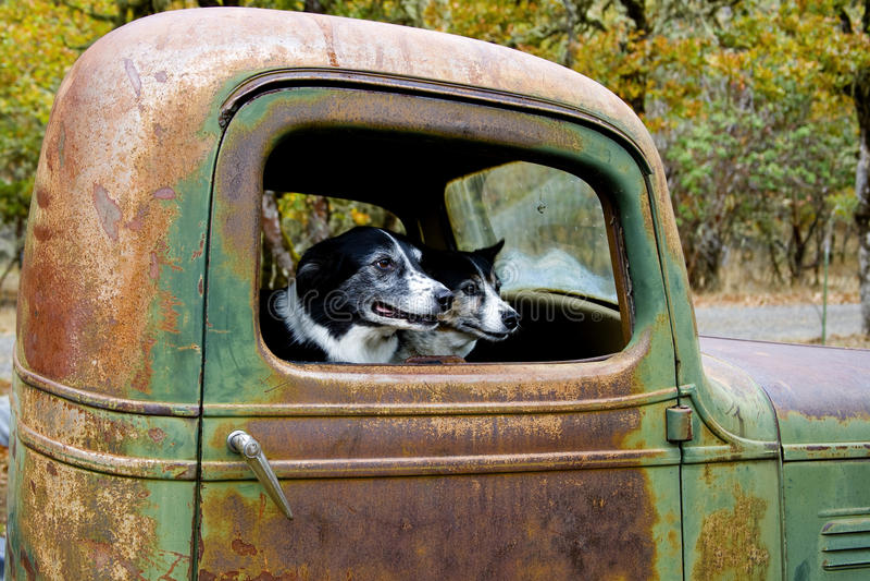 Dois cães em um caminhão velho imagem de stock