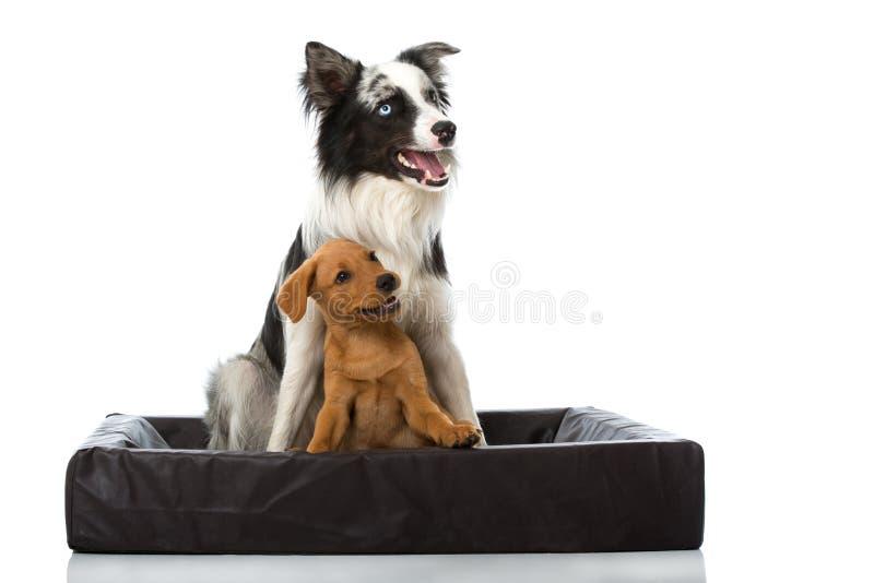 Dois cães em uma cama do cão no branco fotografia de stock royalty free