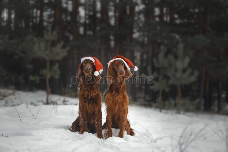 Dois cães engraçados estão preparando-se para comemorar o ano novo imagem de stock royalty free