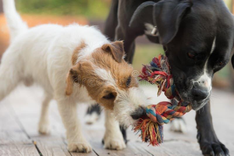 Dois cães estão perseguindo fora Terrier de Jack russell e amstaff preto foto de stock royalty free