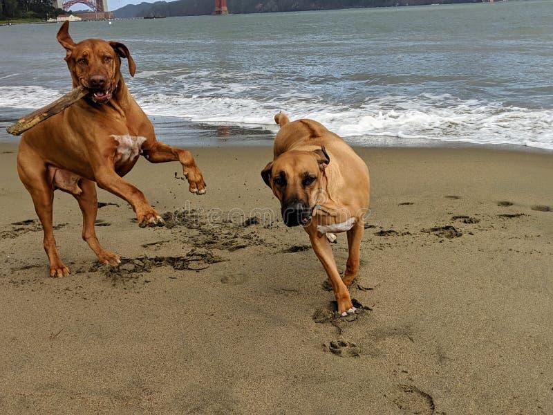 Dois cães felizes grandes que saltam, correndo e jogando o esforço com vara dentro na praia com golden gate bridge no fundo foto de stock royalty free