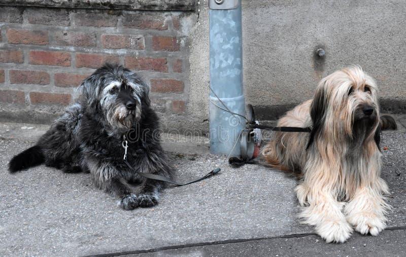 Dois cães grandes, amarrados a um cargo da lâmpada, esperam seus proprietários imagens de stock