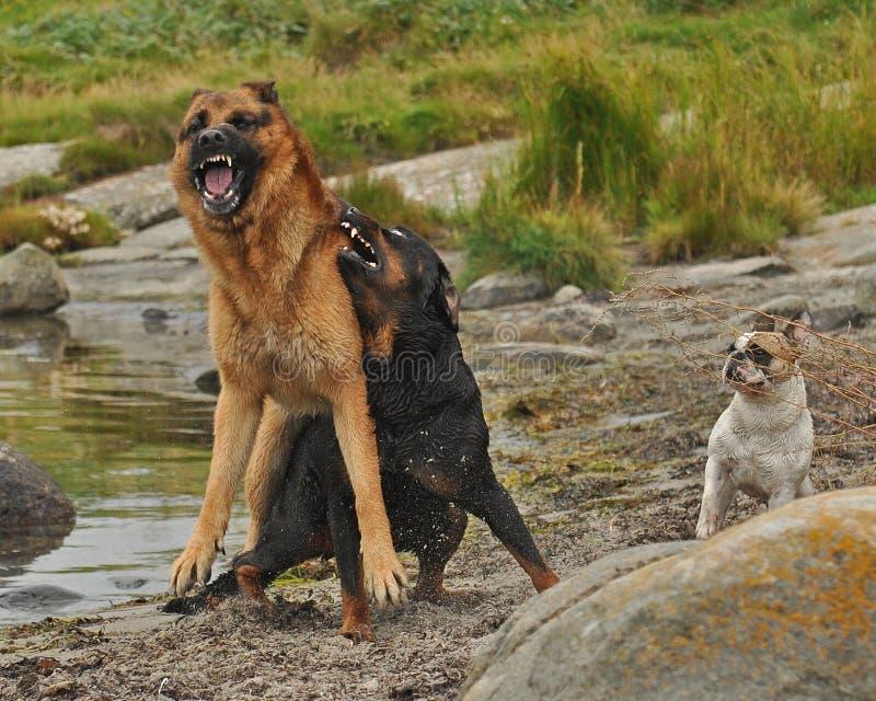 Dois cães incomodados por três 2 fotos de stock royalty free