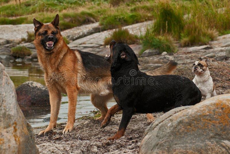 Dois cães incomodados por três 3 foto de stock royalty free