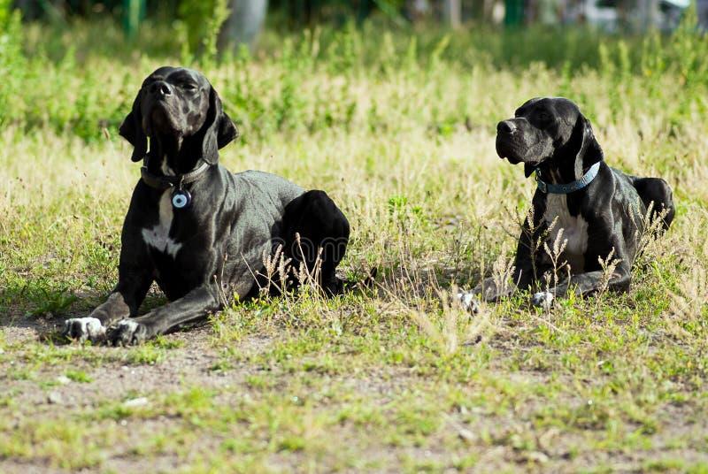 Dois cães ingleses do ponteiro fotos de stock