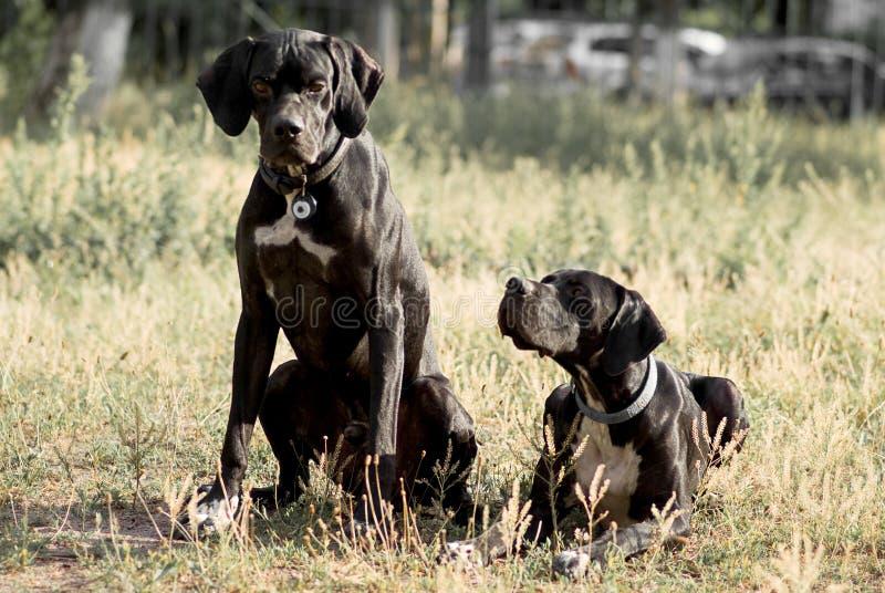 Dois cães ingleses do ponteiro fotos de stock royalty free