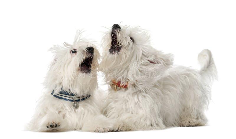 Dois cães malteses, 2 anos velhos, encontrando-se fotografia de stock royalty free