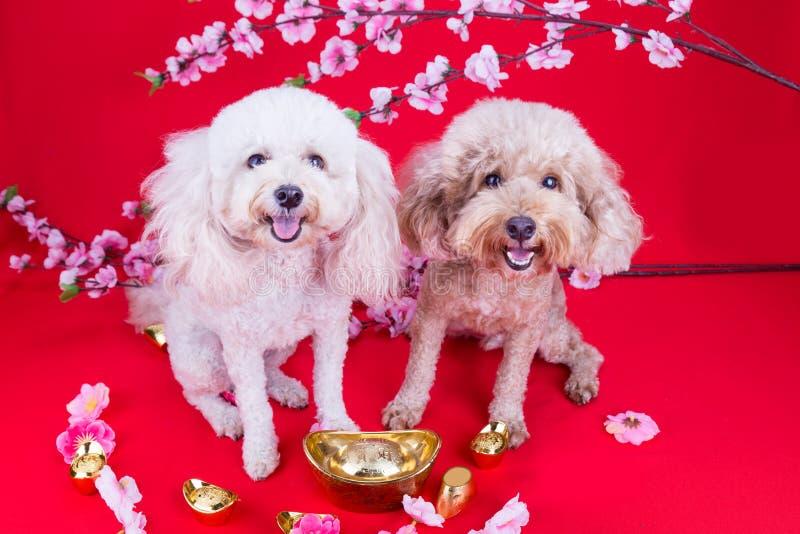 Dois cães no ajuste festivo chinês do ano novo no fundo vermelho fotos de stock