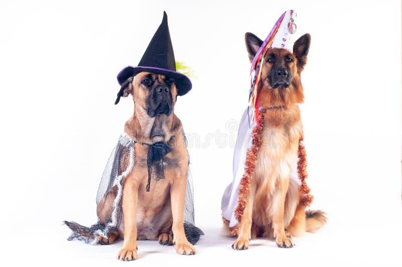 Dois cães no fundo branco nos trajes fotografia de stock royalty free