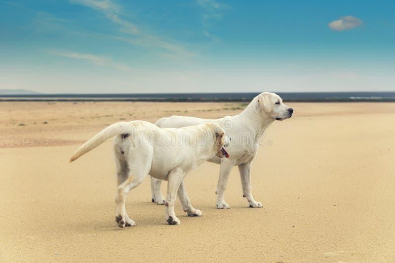 Dois cães novos bonitos jogam na praia no verão imagem de stock royalty free