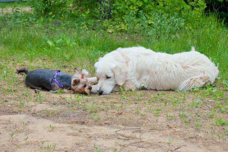 Dois cães - o golden retriever e o yorkshire terrier encontraram-se na caminhada imagens de stock