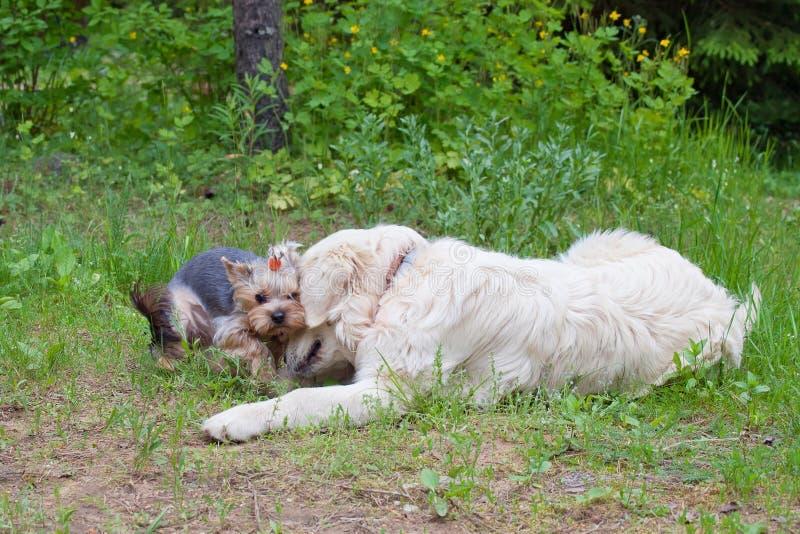 Dois cães - o golden retriever e o yorkshire terrier encontraram-se na caminhada imagem de stock