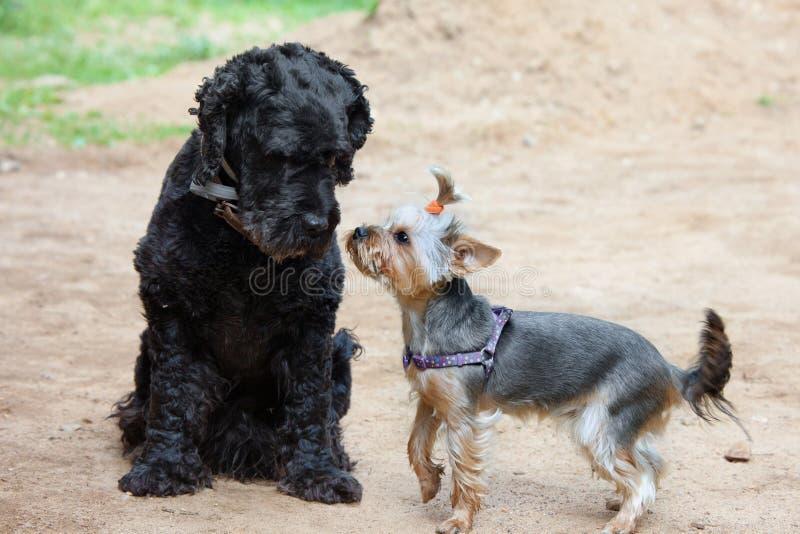 Dois cães - o terrier e o yorkshire terrier pretos encontraram-se na caminhada imagens de stock