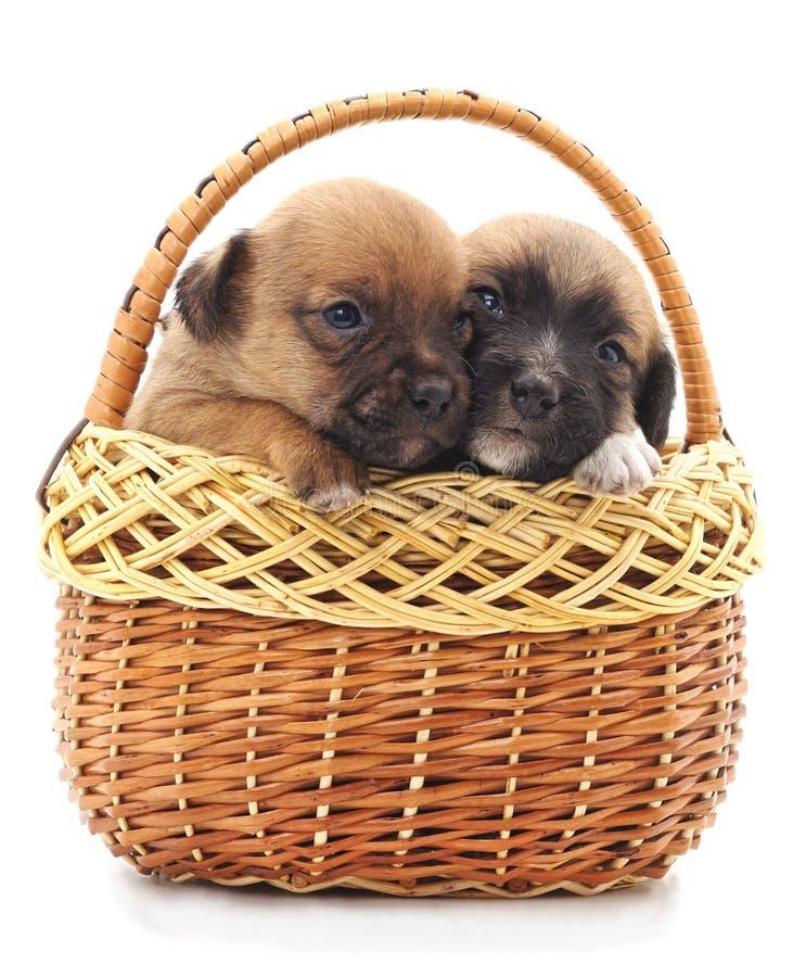 Dois cães pequenos em uma cesta imagens de stock