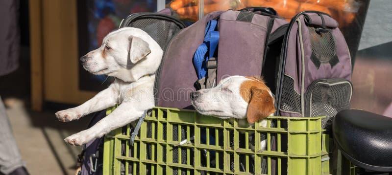 Dois cães pequenos engraçados que sentam-se na caixa plástica verde no lugar da bagagem da bicicleta fotos de stock