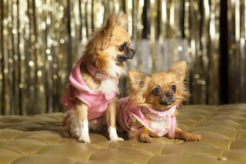 Dois cães pequenos na cor-de-rosa imagem de stock royalty free