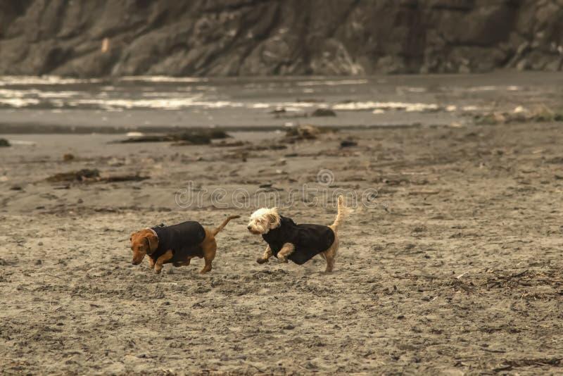 Dois cães pequenos nos revestimentos que correm na praia em um dia frio - um bassê e um terrier branco - com oceano e penhasco no imagem de stock