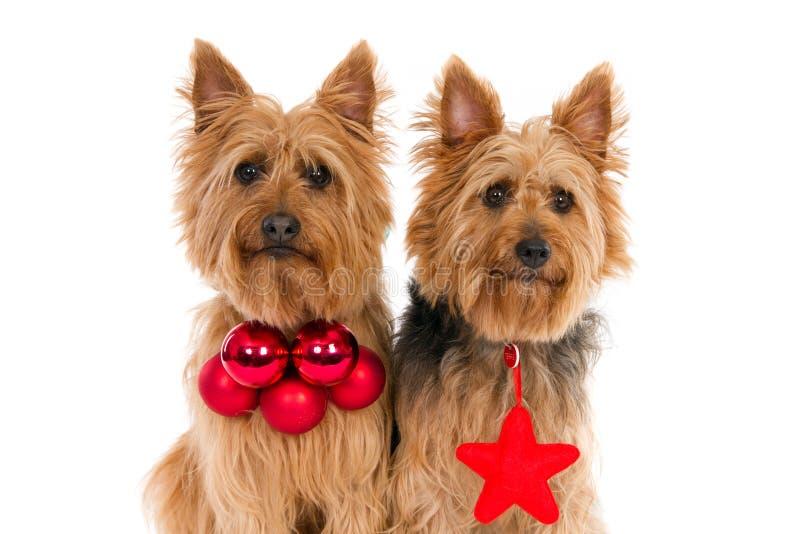 Dois cães pequenos que vestem atributos do Natal fotos de stock royalty free