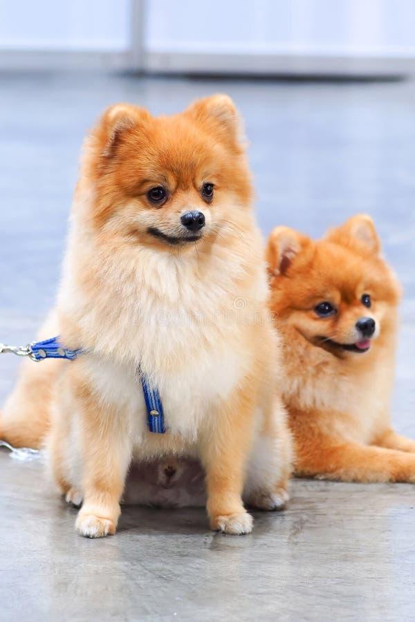 Dois cães pomeranian fotos de stock royalty free