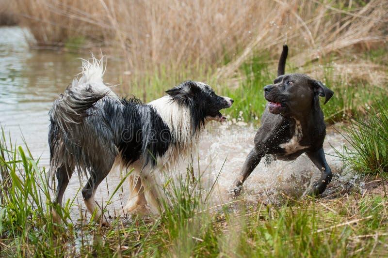 Dois cães que jogam em um lago fotografia de stock royalty free