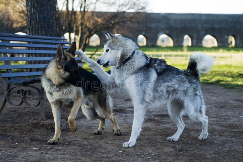 Dois cães que jogam em um parque fotografia de stock royalty free