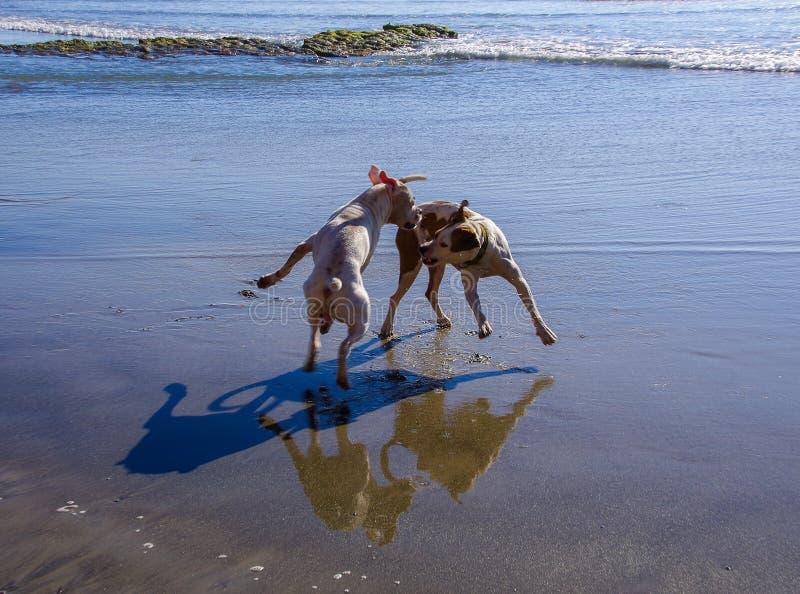 Dois cães que jogam na praia com suas sombras e reflexões vistas na areia molhada fotografia de stock