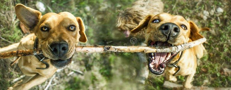 Dois cães que mordem o ramo fotografia de stock royalty free
