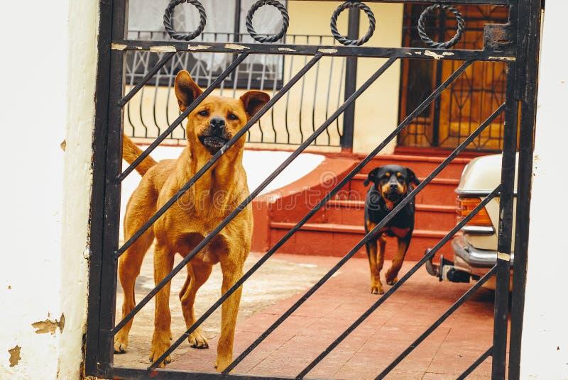 dois cães que protegem seu território fotos de stock