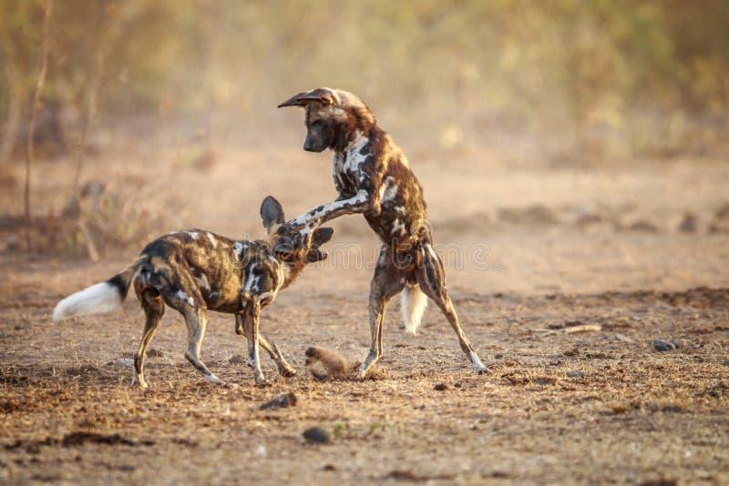 Dois cães selvagens africanos de jogo foto de stock royalty free