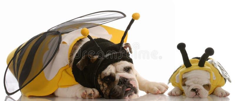 Dois cães vestidos acima como das abelhas fotos de stock royalty free