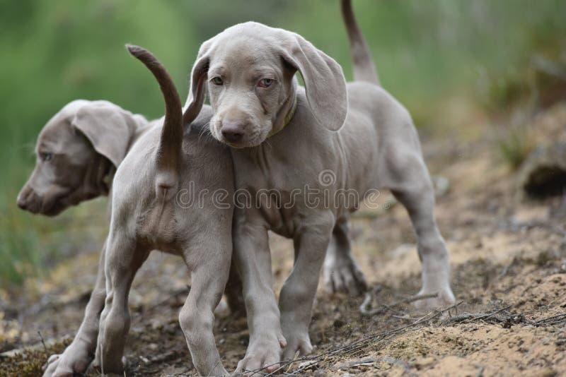 Dois cães Weimaraners do litte na natureza imagens de stock