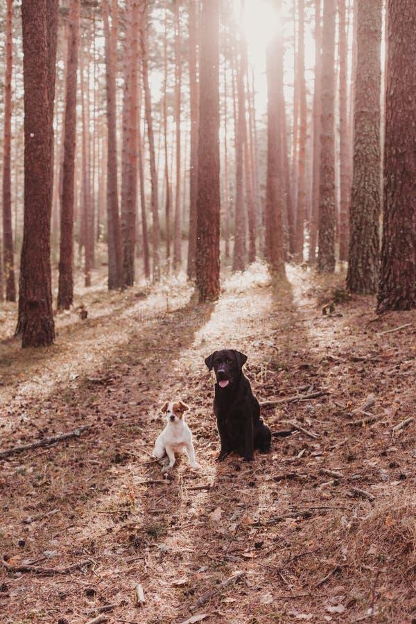 Dois c?es bonitos que sentam-se no meio da floresta no por do sol c?o pequeno bonito e Labrador preto bonito Animais de estima??o foto de stock royalty free