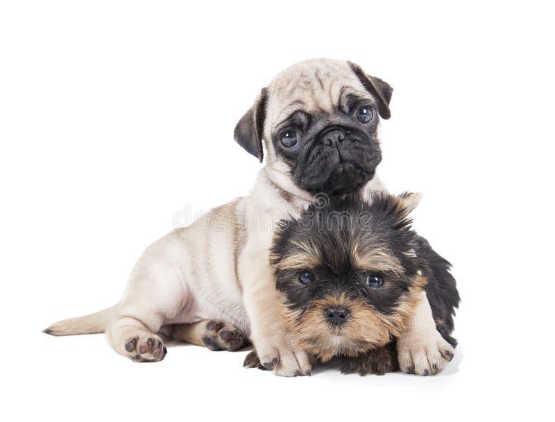 Dois cachorrinhos imagens de stock