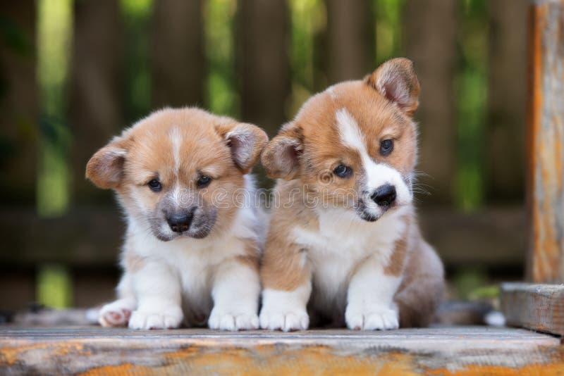 Dois cachorrinhos adoráveis do corgi de galês imagens de stock royalty free