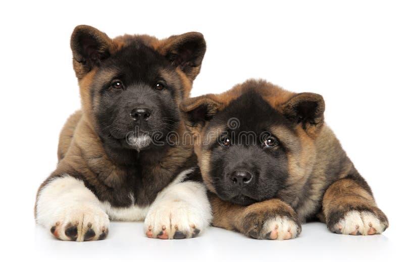 Dois cachorrinhos americanos de Akita encontram-se em um branco fotografia de stock