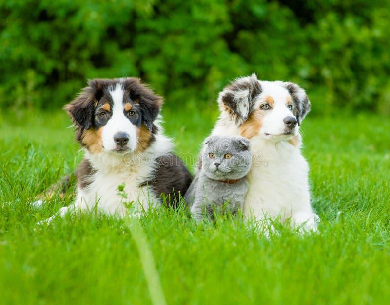 Dois cachorrinhos australianos do pastor e gato escocês que encontram-se no verde foto de stock