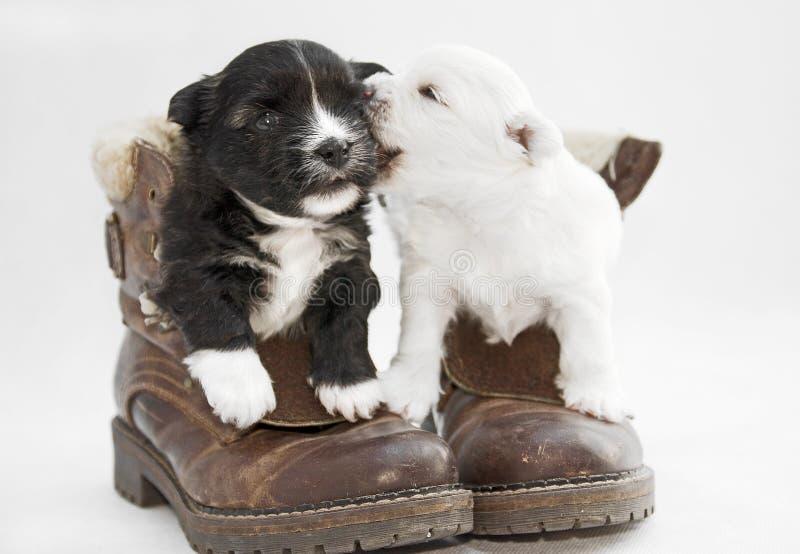 Dois cachorrinhos brancos e pretos no estúdio imagem de stock