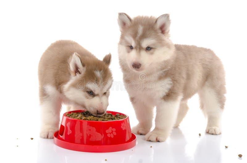 Dois cachorrinhos do cão de puxar trenós siberian que comem o alimento no fundo branco fotografia de stock royalty free