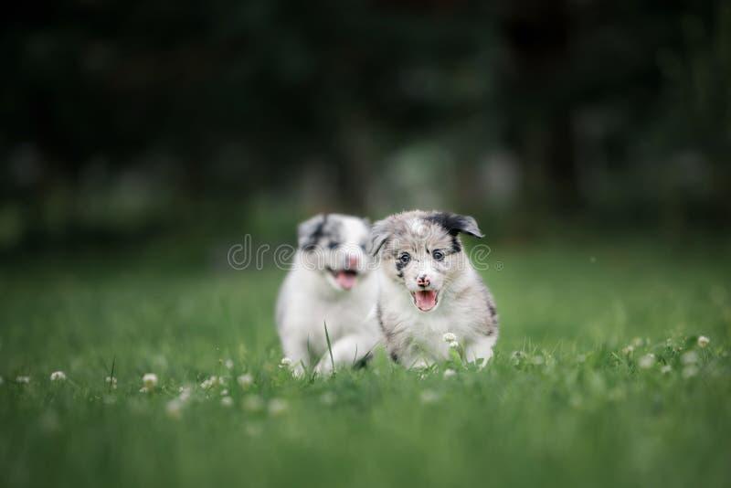 Dois cachorrinhos lindos de border collie corridos de lado a lado em um gramado verde fotografia de stock royalty free