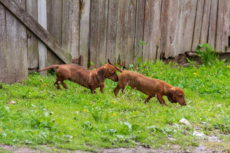 Dois cachorrinhos marrons bonitos do bassê foto de stock royalty free
