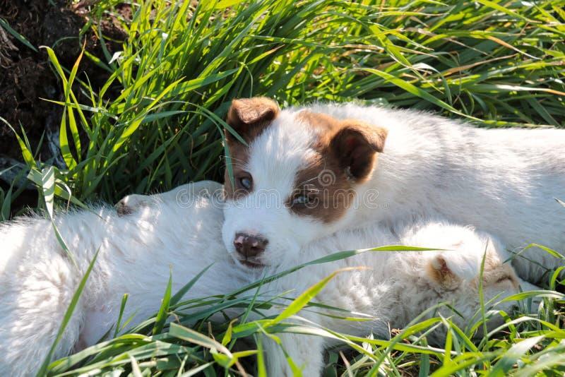 Dois cachorrinhos shephered do cão que encontram-se para baixo relaxando na grama imagens de stock
