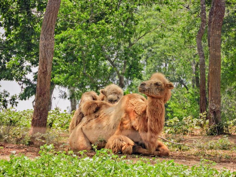 Dois camelos em Sri Lanka fotos de stock royalty free